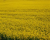 Close_up of a rape field in the United Kingdom, Europe