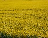 Close_up of a rape field in the United Kingdom, Europe