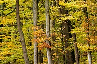 Primeval beech and oak forest, deciduous forest, Steigerwald, colours of autumn, Bavaria, Germany