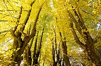 Alley of limetrees bordering a hollow-way, National Park Sumava, colours of autumn, Czech Republic