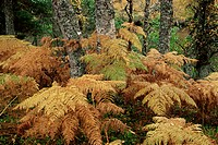 Bracken and birch trees in autumn, Glen Strathfarrar, Highland region, Scotland, United Kingdom, Europe