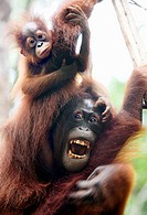 Female orangutan with her enfant in tree