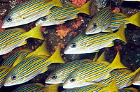 Blue and Gold Snapper, pargo rayado, Latjanus viridis, school in Sea of Cortez, Mexixo