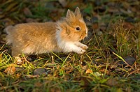 lion_headed dwarf rabbit on meadow restrictions: animal guidebooks, calendars