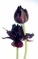 dark red tulip bloom