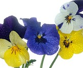 close_up of violas