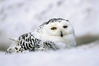 Captive snowy owl Nictea scandiaca