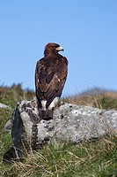Golden eagle Aquila chrysaetos, on moorland, captive, United Kingdom, Europe