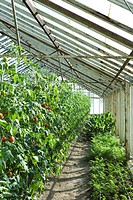 Tomatoes and herbs growing in greenhouse (thumbnail)