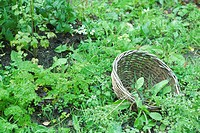 Wooden basket on the ground surrounded by chervil