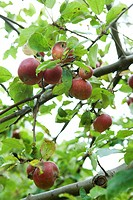 Pomegranates growing on branches