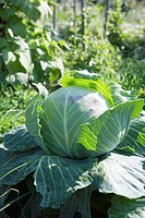 Head of cabbage outdoors