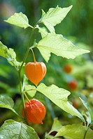 Winter cherry Physalis alkekengi