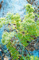 Kale covered by netting