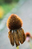 Purple coneflower Echinacea with wilted petals