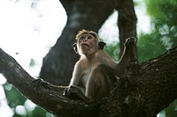 Rhesus monkey Macaca mulatta sitting on bough of tree, looking up