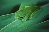 Mediterranean Tree Frog Hyla meridionalis