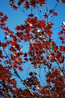 Red leaves of Japanese maple against blue sky