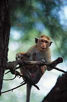 Rhesus monkey perched on thin branch