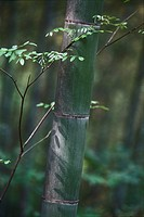 Young tree growing next to thick bamboo stalk