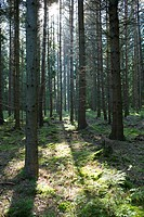Sun shining through forest trees