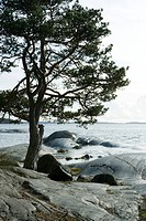Pine tree growing on rocky shore