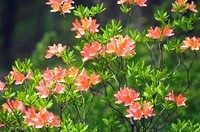 Orange Red Azalea (Rhododendron hybrid)