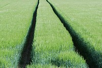 Tracks through wheat field