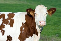 Montbeliard cow, portrait