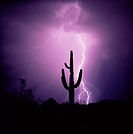 Cactus silhouetted against lightning, Tucson, Arizona, United States of America U.S.A., North America