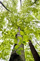 Looking up Beech trees,spring, Germany,Baden-Wuerttemberg