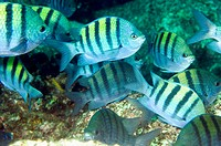 Panamic Sergeant Major, pintano, Abudefduf troschelii, Sea of Cortez, Mexico