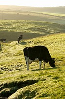Grazing cows in early morn light North Antrim coast , Northern Ireland