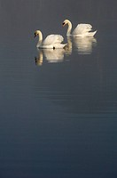 Mute Swans on a pond, early morning mist County Down