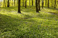 Blue Bells at Portglenone forest, Co Antrim, Northern Ireland