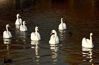 A group of a Swans at Victoria Park Belfast