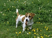 Jack Russell Terrier holding a leaf in its mouth
