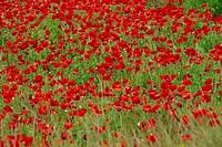 Poppy field, Spain, Europe