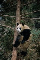 Giant Panda climbing tree China
