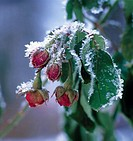 Frostnypna rosknoppar. Close_Up Frosen Rose Buds Covered In Frost