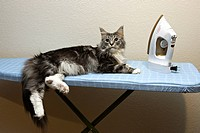 Domestic Maine Coon cat laying on ironing board inside USA