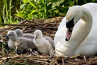 Mute Swan with cygnets on nest, Cygnus olor, Hamburg at River Alster, Germany