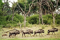 Gnuer I Chobe Nationalpark Botswana, Group Of Animals In Forest