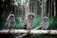 Lappuggla, Ungar, Close_Up Of Owl