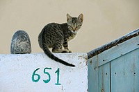 Cat, Santorin, Santorini, Oia, Greece, Cyclades, Cyclades islands