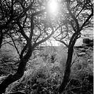 Notiga Havtornstammar I Motljus Vid Havsstranden, Tree With Stones By Sea B&W