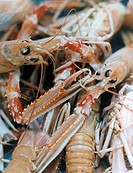 Kopia Havskräftor FOTO: Torbjörn Boström COPYRIGHT BILDHUSET, Shrimp, Close Up