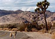 Kopia Prärievarg, Kalifornien FOTO: Johan Wingborg COPYRIGHT BILDHUSET, Fox Standing On Road