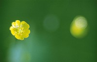 Smörblommor, Flower, Close_Up