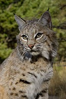 Close_up of a Bobcat Lynx rufus